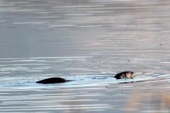Wildlife - Otter 1