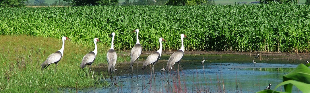Karkloof Conservation Wattled Crane